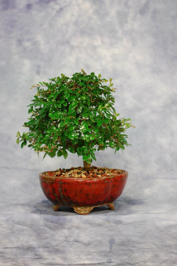 Chinese Elm Bonsai tree . Cold Hardy. Great for Beginners