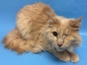 Adopt Pirate a Domestic Long Hair, Domestic Short Hair