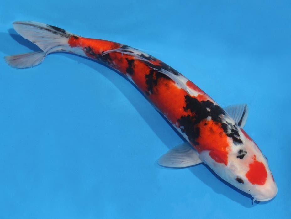 Live koi fish 12-13