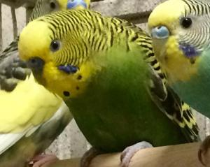 Adopt LIME a Parakeet (Other)