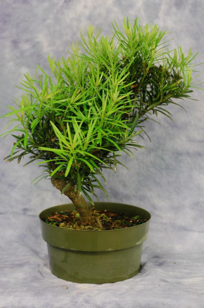 Twisted Trunk Podocarpus pre Bonsai tree . Cold Hardy.