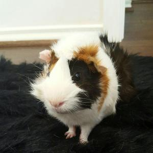 Adopt Broadway a Abyssinian, Guinea Pig