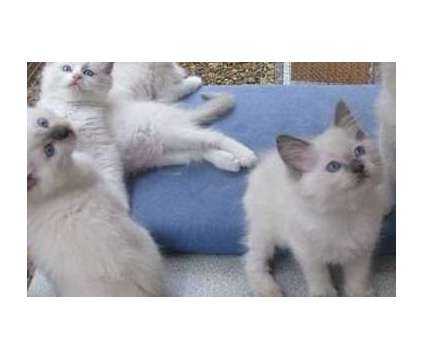 Mom And Dad On Site- Ragdoll Kittens For Sale