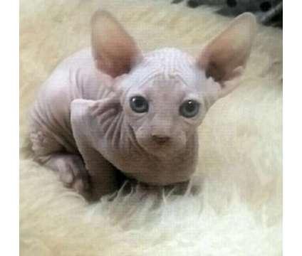 QASWDEX Solid Blue Eyed Cream M/F Sphynx Kittens For Sale
