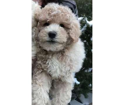 Goldendoodles - Small/Toy-Size, Great Temperament, Hypoallergenic