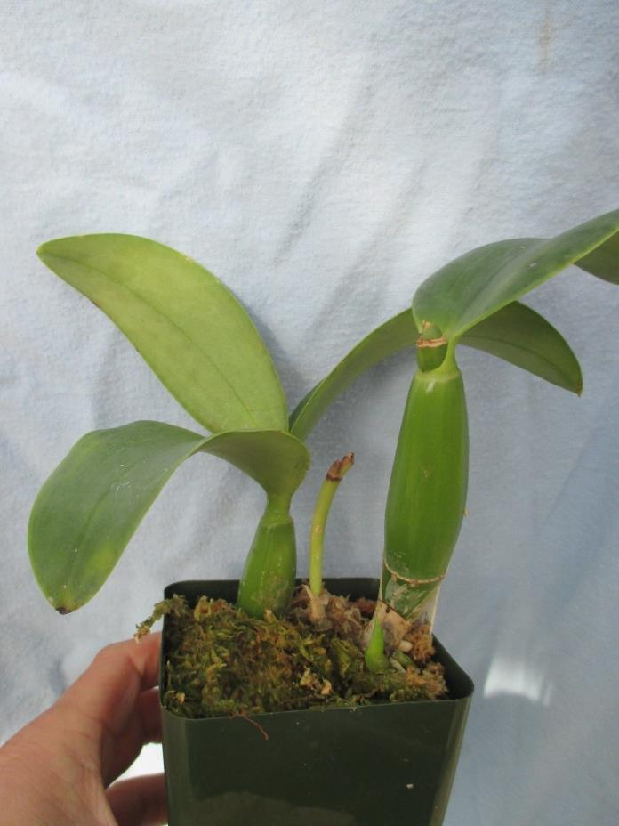 Orchid species -- Cattleya nobilior