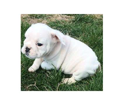 AKC English Bulldog Pups Ready