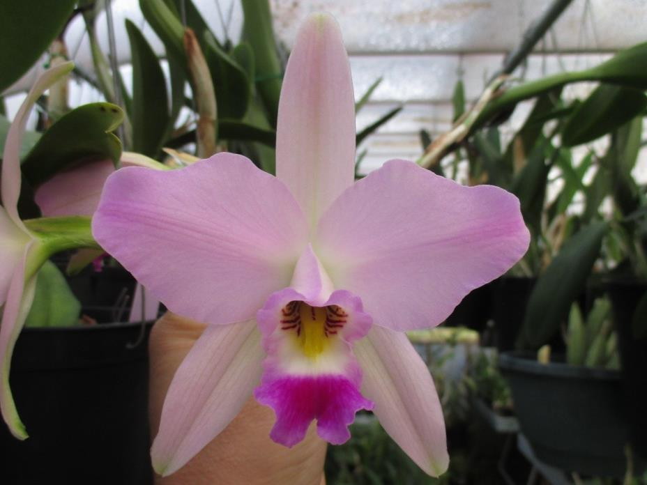 Orchid species -- Laelia anceps 'SanBar Pink Triumph' AM/AOS