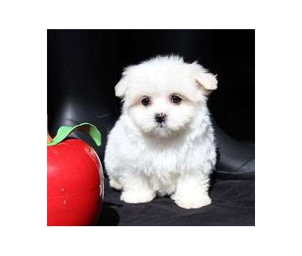 AKC Teacup Maltese Pups