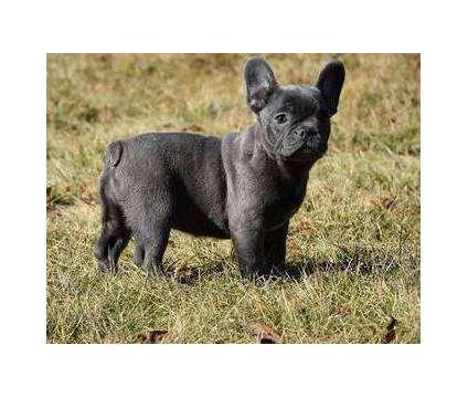 Kljiuh French Bulldog