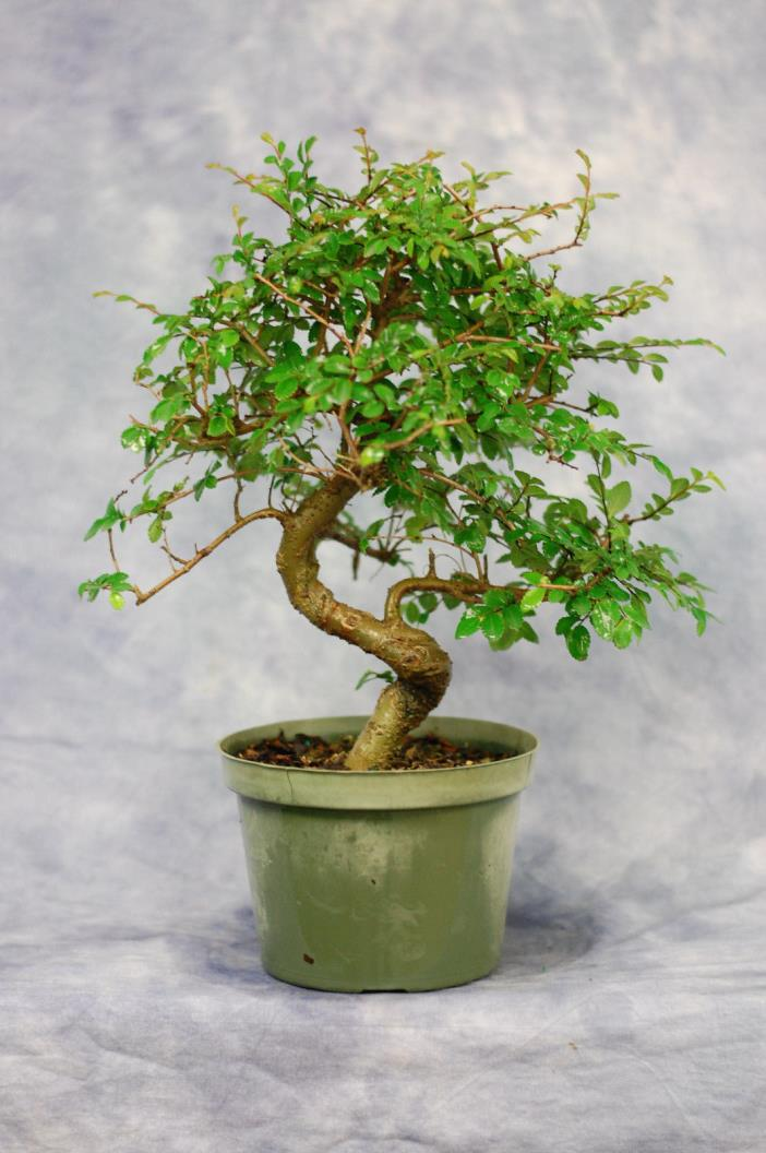 Chinese Elm Pre Bonsai tree . Cold Hardy. Great for Beginners