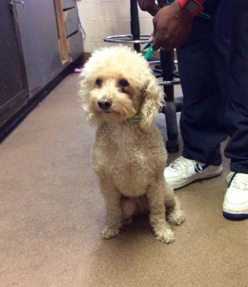 Adopt Eloise a Tan/Yellow/Fawn Miniature Poodle / Mixed dog in Washington