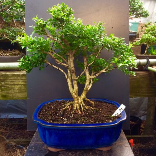 Bonsai Kingsville Boxwood Tree 30 Years Old 15