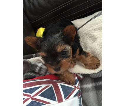 dgfhfdg teacup Yorkshire Terrier puppies ready now