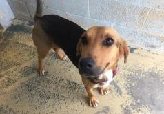 Adopt Tootsie a Hound (Unknown Type) / Mixed dog in Chicago Heights