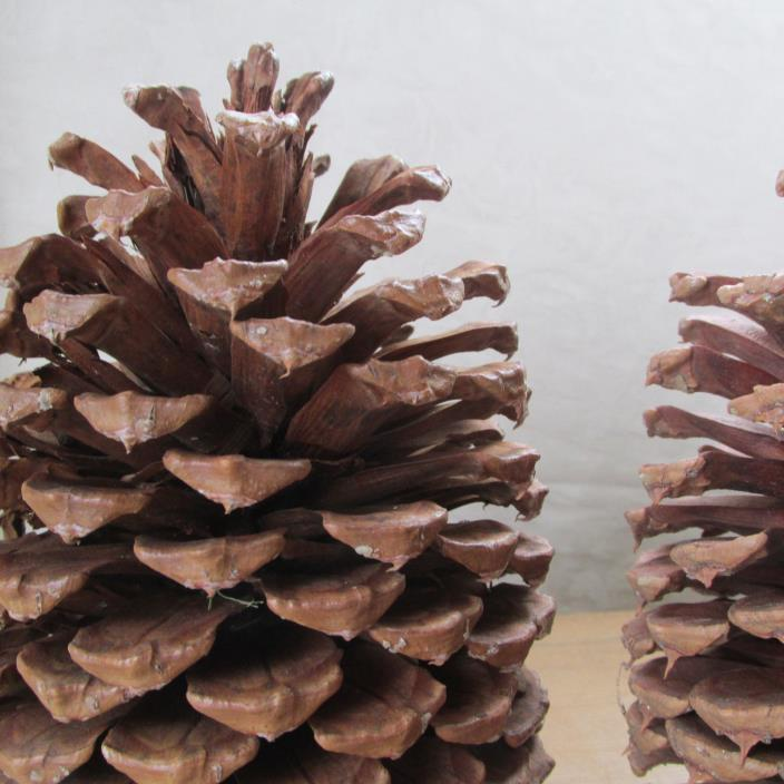 6 Extra Large Pinecones for Crafts or Home Decor 7 1/2-8 1/2 inches