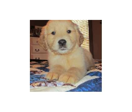 rteryeryeryer Healthy Golden Retriever Puppies For Sale