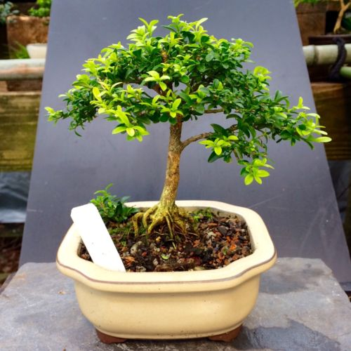 Bonsai Kingsville Boxwood Tree Mame Size 10 Years Old 7