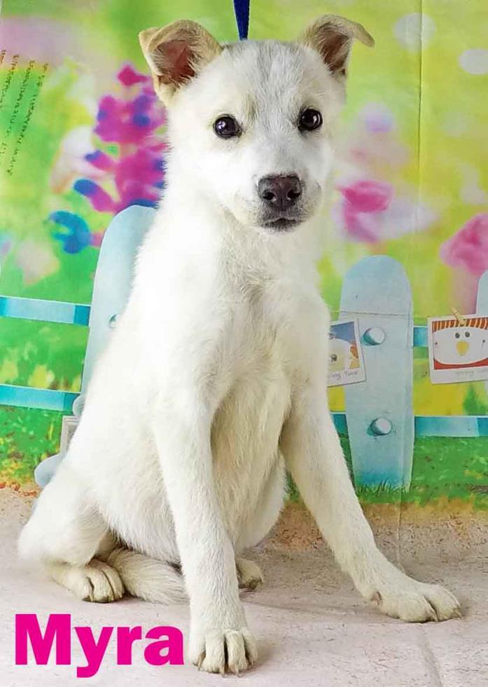 Husky-American Eskimo Dog Mix DOG FOR ADOPTION RGADN-484770 - Myra - Husky /