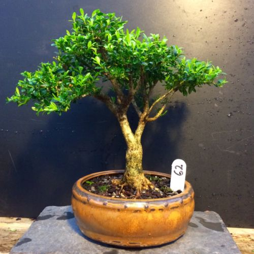Bonsai Kingsville Boxwood Tree 22 Years 8