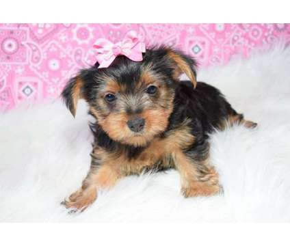 hhgklhg super cute Yorkie male and female for sale