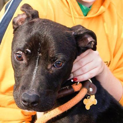 Adopt Rockette a Labrador Retriever / American Staffordshire Terrier / Mixed dog