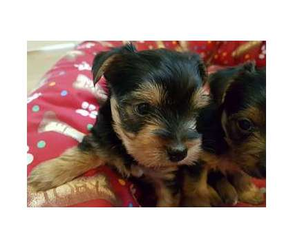 AKC Tiny Yorkie Pups Ready for sale