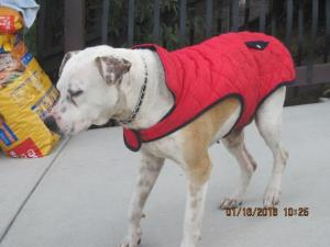 Adopt THE BOY WITH THE TOY a Pit Bull Terrier