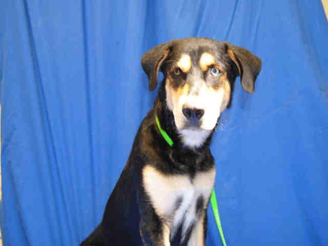 Rottweiler-Husky Mix DOG FOR ADOPTION RGADN-487659 - NAHLA - Husky / Rottweiler