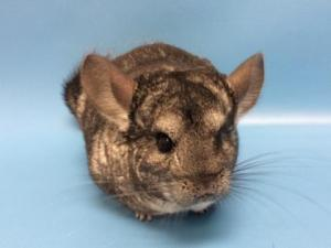 Adopt Billa a Chinchilla