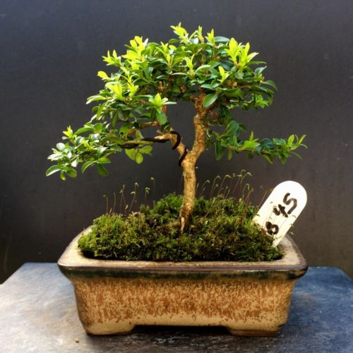 Bonsai Kingsville Boxwood Tree 9 Years Old, Mame 5 3/8