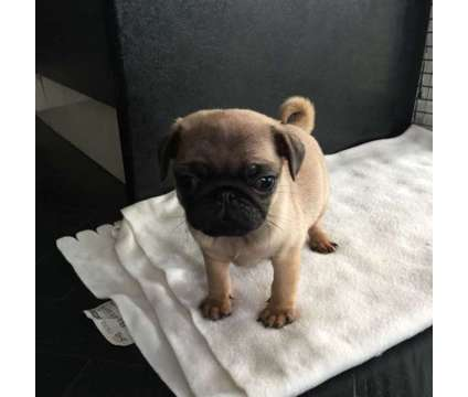 dfgdfghg akc fawn pug puppies available