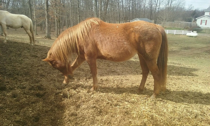 Sweet Quarter Pony Mare