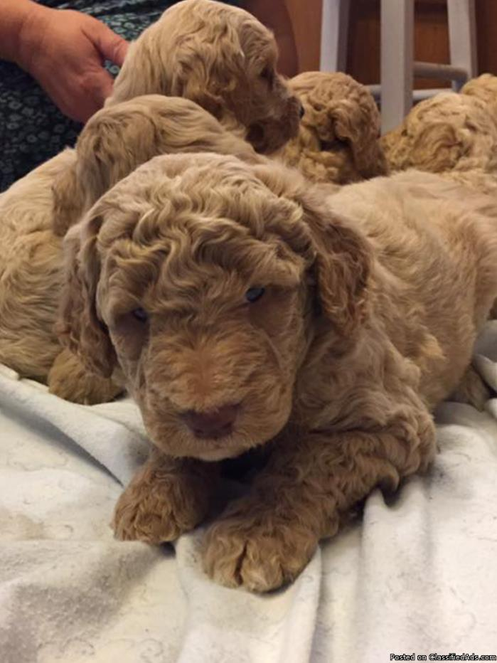 Beautiful F1B Goldendoodles for Sale