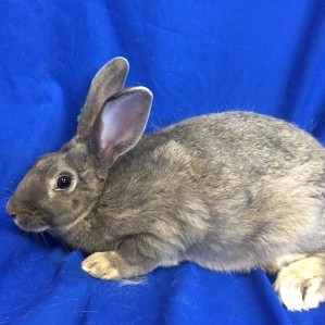 Adopt Robin a Grey/Silver Flemish Giant / Mixed (medium coat) rabbit in Show