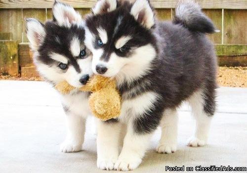 Magi - Siberian Husky pups