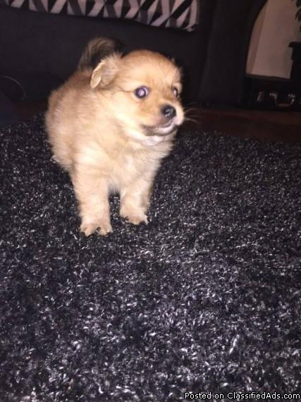 nice and cute pommerian puppy available