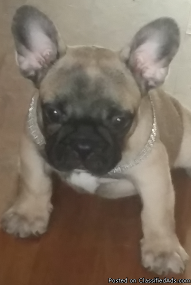 cute and ready French bulldog puppies for sale