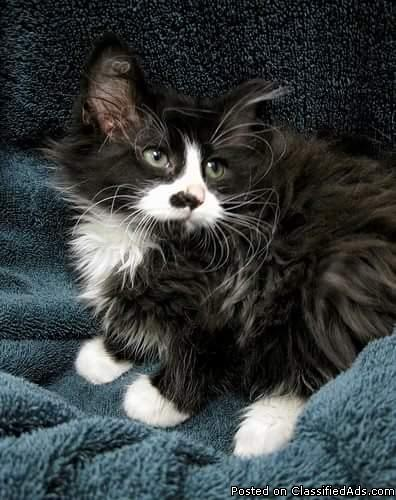 Looking for long haired kitten boy or girl