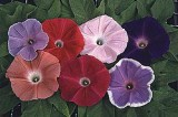 Morning Glory Seeds - quotEarly Call Mix Order now FREE shippin