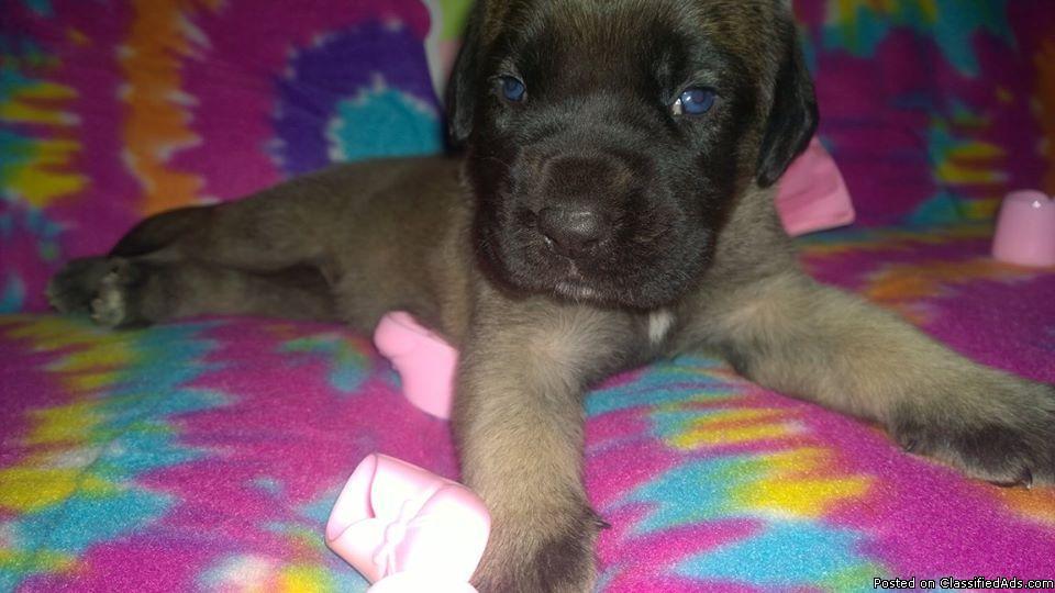 AKC English Mastiff Puppies