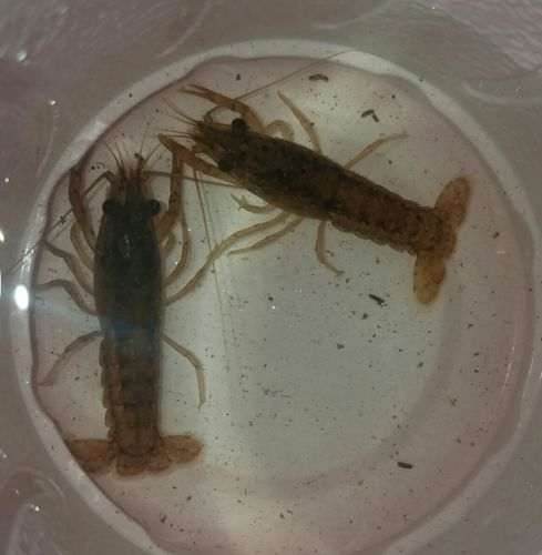 (1) LIVE FRESHWATER CRAYFISH/CRAWFISH