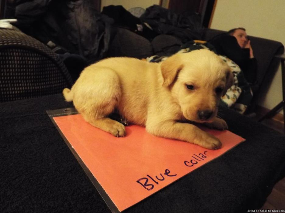 Golden Retriever lab mix puppies