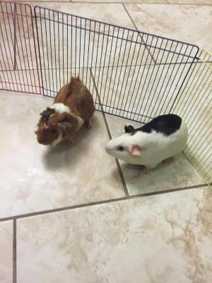 Adopt Panda & Theodore a Abyssinian, Guinea Pig