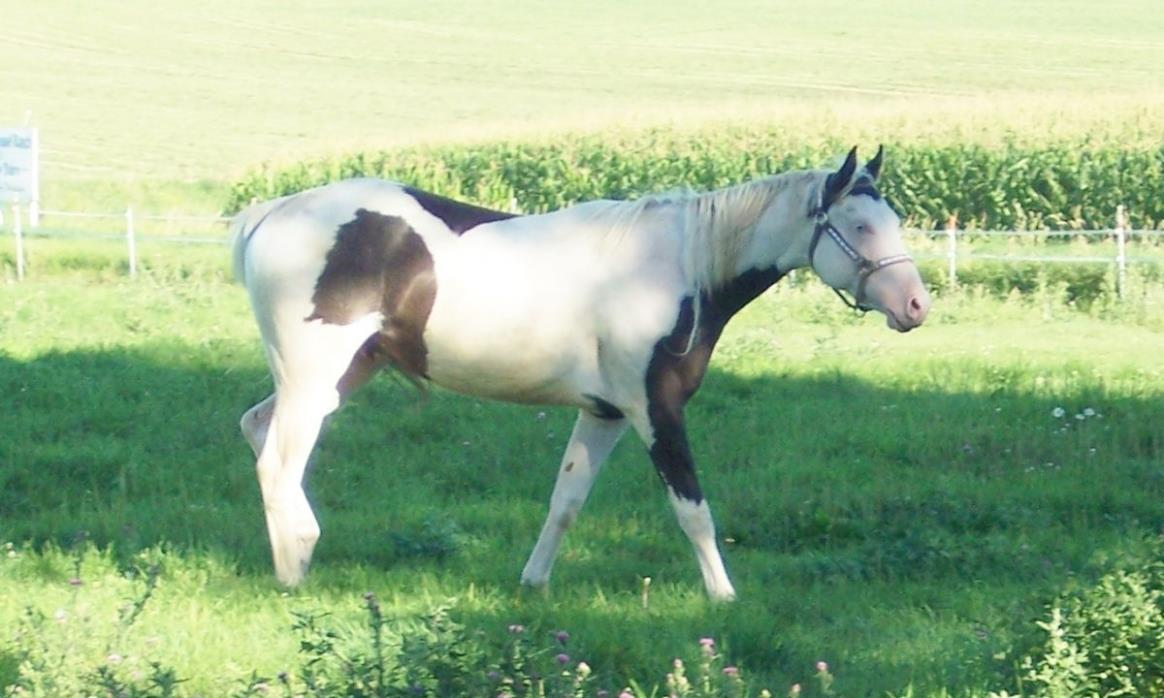 SOLD BlackWhite TobOvero Paint Gelding