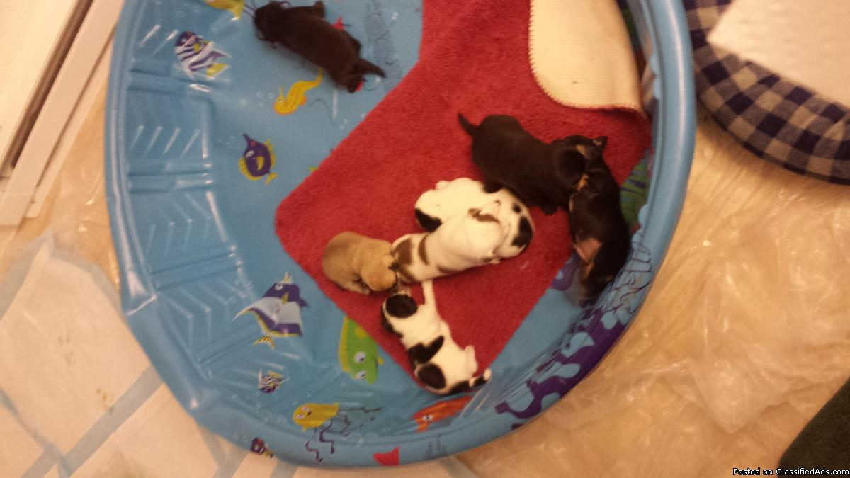 Adorable Chihuahua Rat Terrier puppies