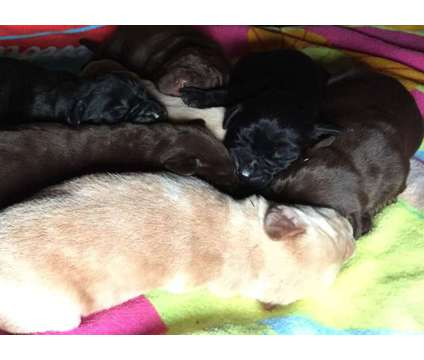 AKC Chocolate, Black, & Yellow Labrador Retriever Puppies