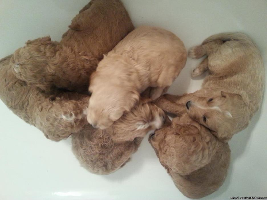Goldendoodle Puppies F3