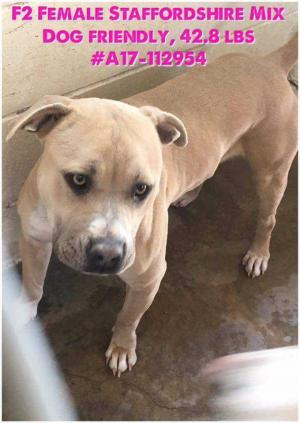 Adopt Peach a American Staffordshire Terrier, Pit Bull Terrier