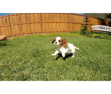 N/P Nice Play-Mate Cavalier King Charles Puppies For Sale